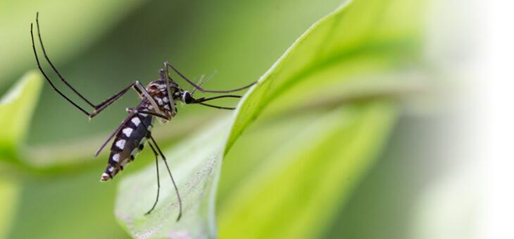 Mücke sitzt auf einem Blatt.