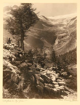 Steiner Albert, Schafhirt bei Alp Grüm