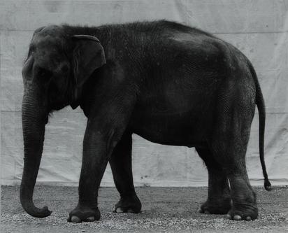 Burkhard Balthasar, Elephant