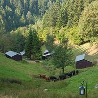 Tent landscape cow hilserhof kl