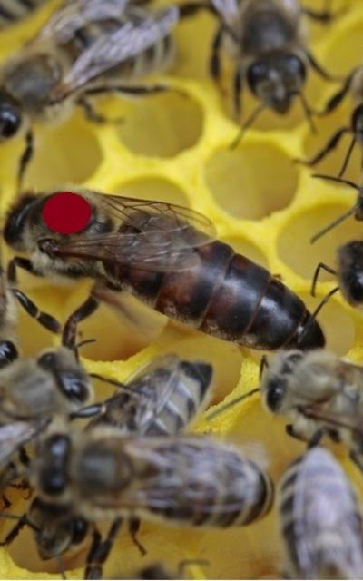 Tiroler Carnica Bienen Königinnen 2020 gezeichnet