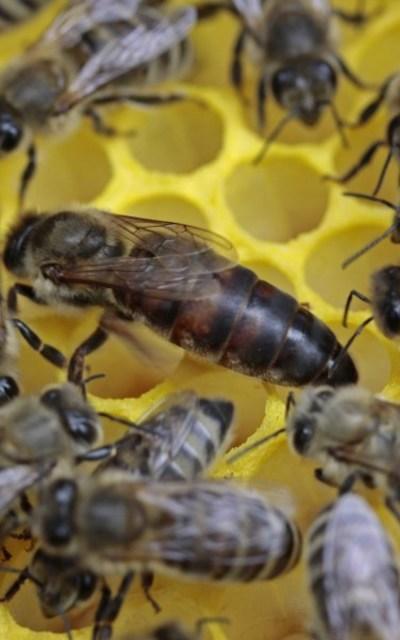 Tiroler Carnica Bienen Königinnen 2021