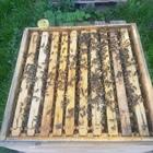ausgewintertes Bienenvolk in der Beute/ Zander flach