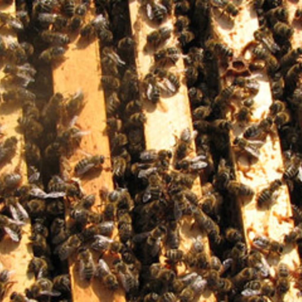 Verkaufe 2 Bienenvölker Carnica Zander in Erfurt