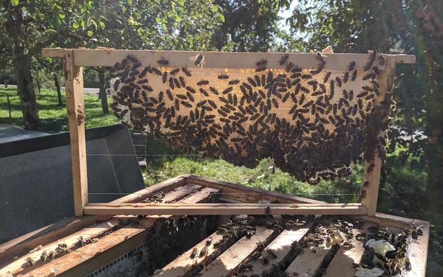 Carnica-Bienenvölker auf Naturwabenbau im Zandermaß