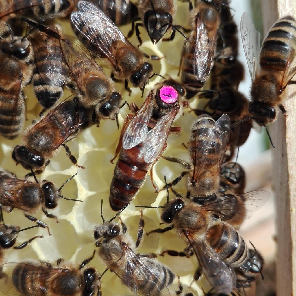 6 Waben Volk Jumbo Zander 5,1mm Zellengröße (mit Königin) 457mm Obterträger (kurze Ohren)