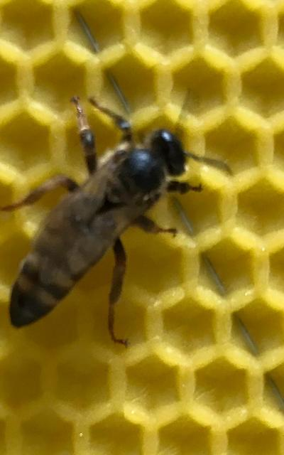Bienenkönigin Carnica (belegstellenbegattet)