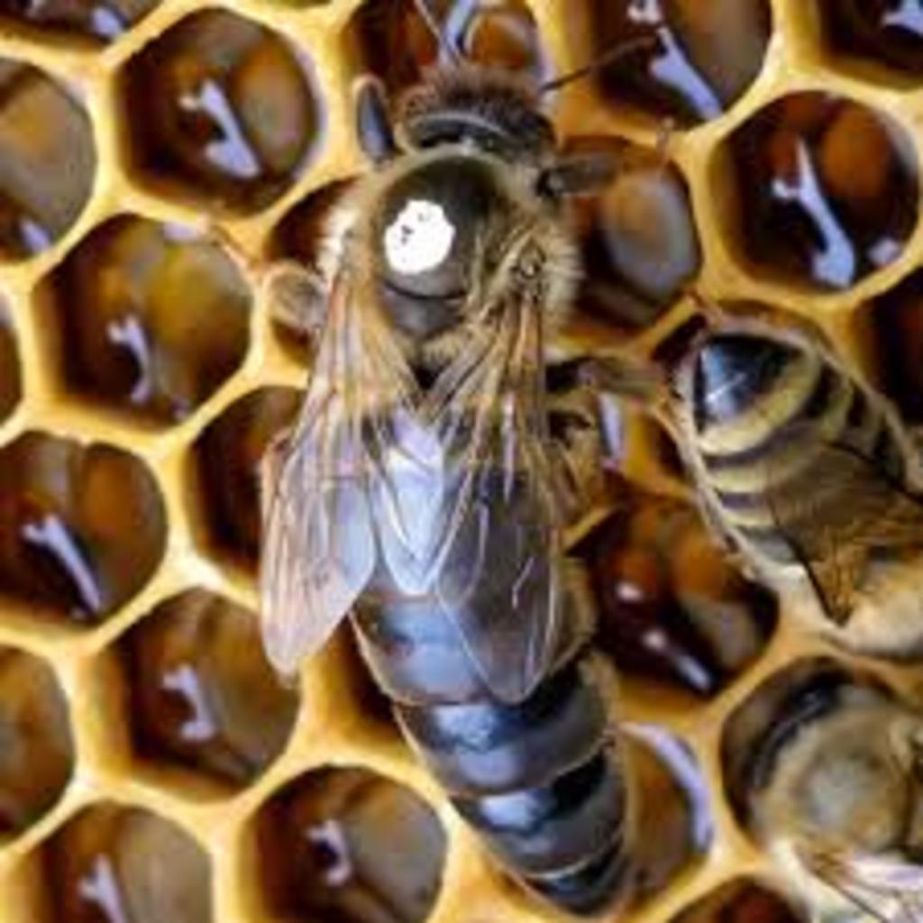 Wetterauer Bienenkönigin -  Reinzuchtkönigin Carnica Belegstellenbegattet