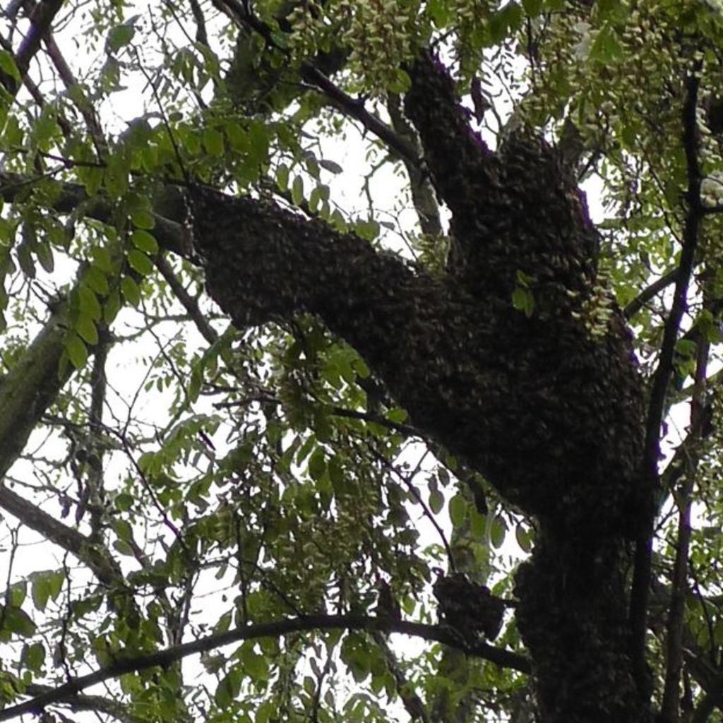 Kunstschwarm mit Carnica Sklenar Bienenkönign