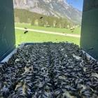 Tiroler Carnica Kuntschschwarm 1,5kg mit gezeichneter Carnica Wirtschaftskönigin inkl. Schwarmkiste