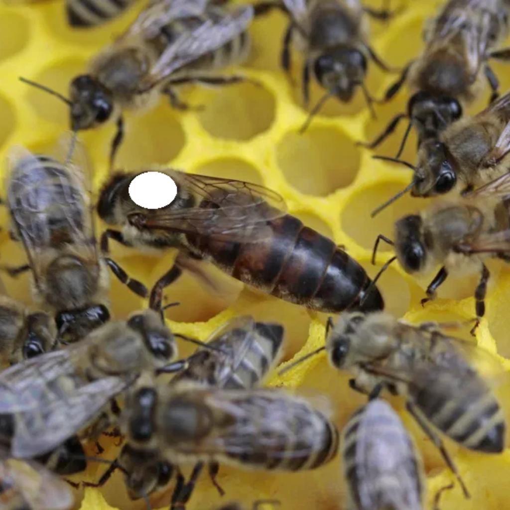 Tiroler Carnica Bienen Königinnen 2021 gezeichnet