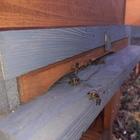 Königinnen der Dunkle Biene Russische Abstammung