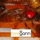 unbegattete Ligustica Goldbiene