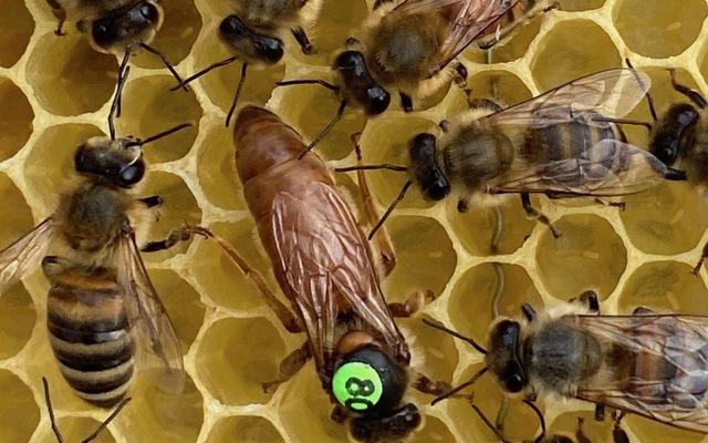Bioland Königinnen