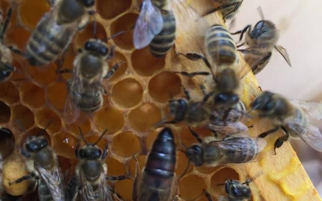 Wir bieten BIO Carnica Reinzuchtköniginnen aus unserem biologisch geführten und zertifizierten Imkereibetrieb an