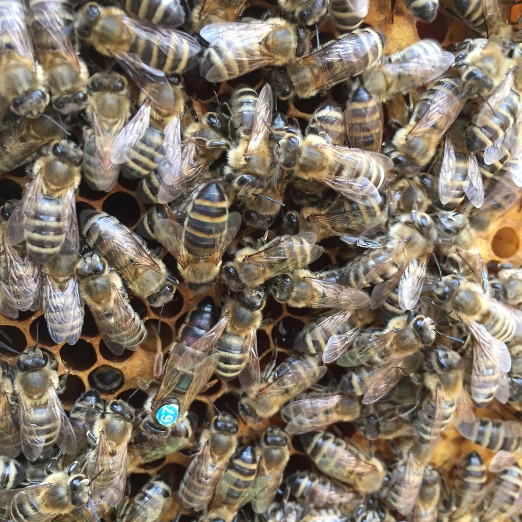 BIO Kunstschwarm mit BIO Reinzuchtkönigin mit ca. 1,5 kg Bienen