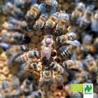 Buckfastkönigin 2021 · Naturland Bio · F1 · standbegattet