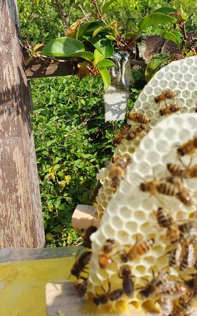 Carnica Bienenkönigin Bienen Königin