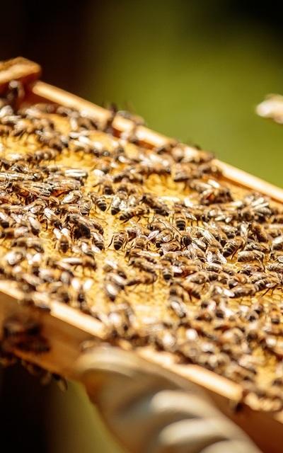 Bienenvolk mit Königin (ZaDant und Zander)
