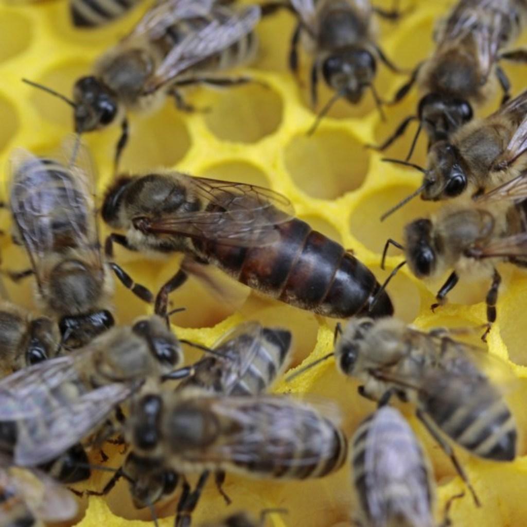 Tiroler Carnica Bienen Königinnen 2019