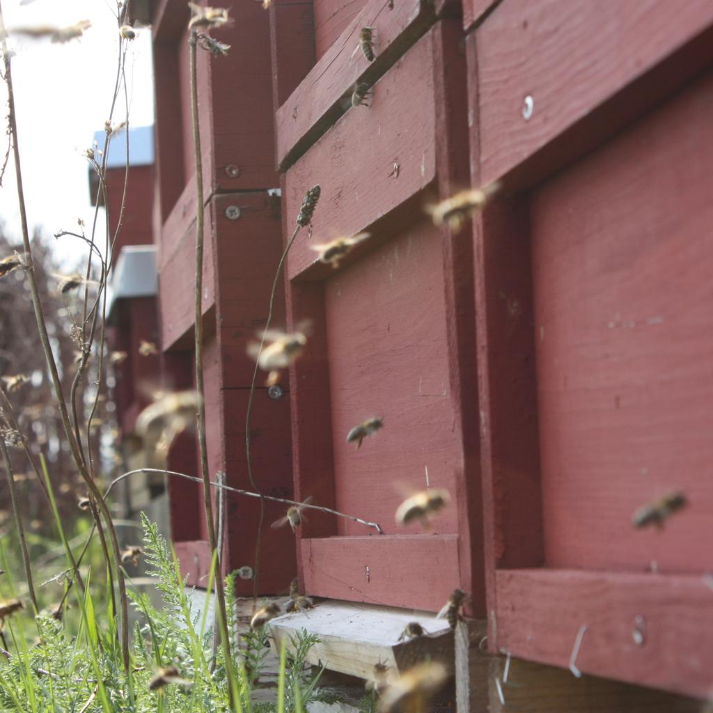 Gut ausgewintertes Bienenvolk