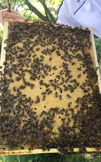 Ausgewinteres Bienenvolk auf Jumbo (Zadant), Carnica
