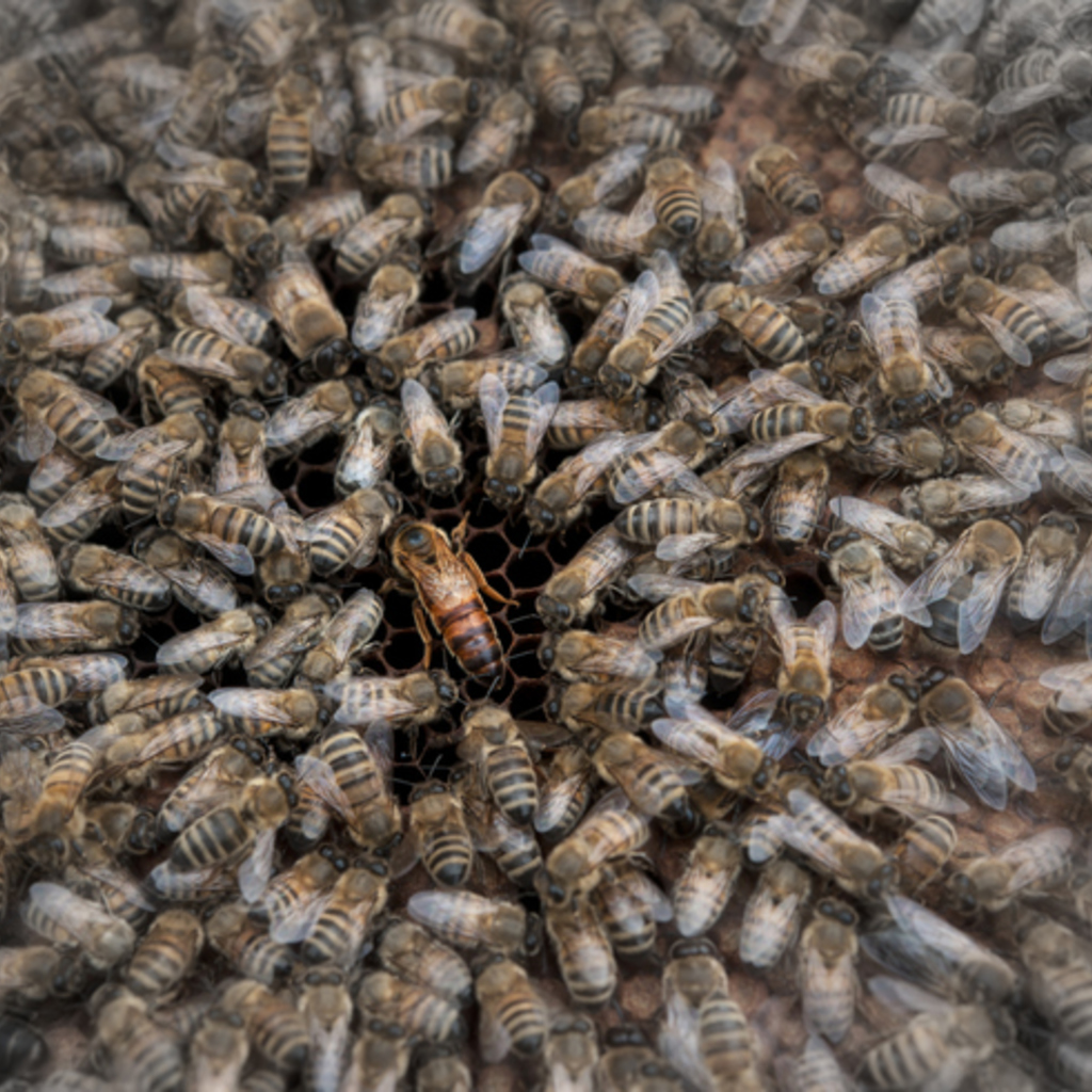 Selektionszucht!  Künstlich besamte Carnica Bienenkönigin