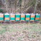 Bienenvolk mit Holzbeute, Carnica