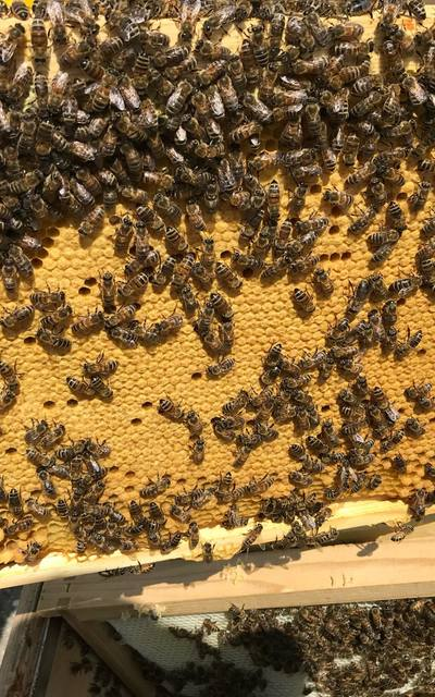5 Waben Bienenvolk auf Dadant US, Buckfast