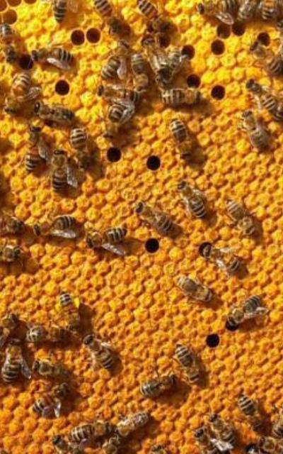 BUCKFAST Bienenvolk, 5 Waben DADANT US