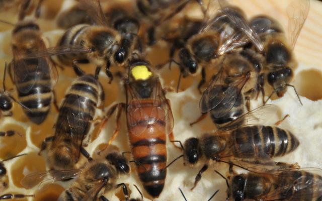 Bienenkönigin Buckfast F1 vorbestellen