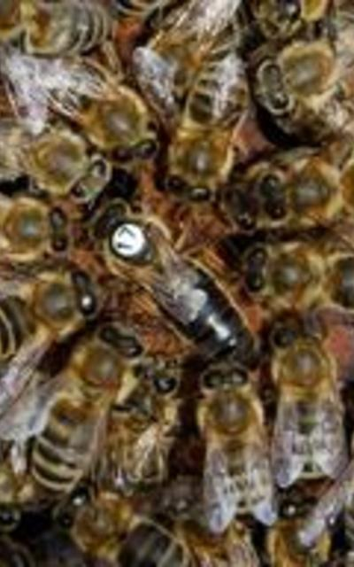 Bienenkönigin Carnica