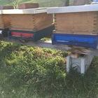 Bienenvolk mit Holzbeute, komplett