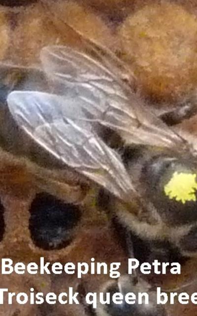 Deutsche Bienen-Königin F1 Carnica-Troiseck Stand begattet