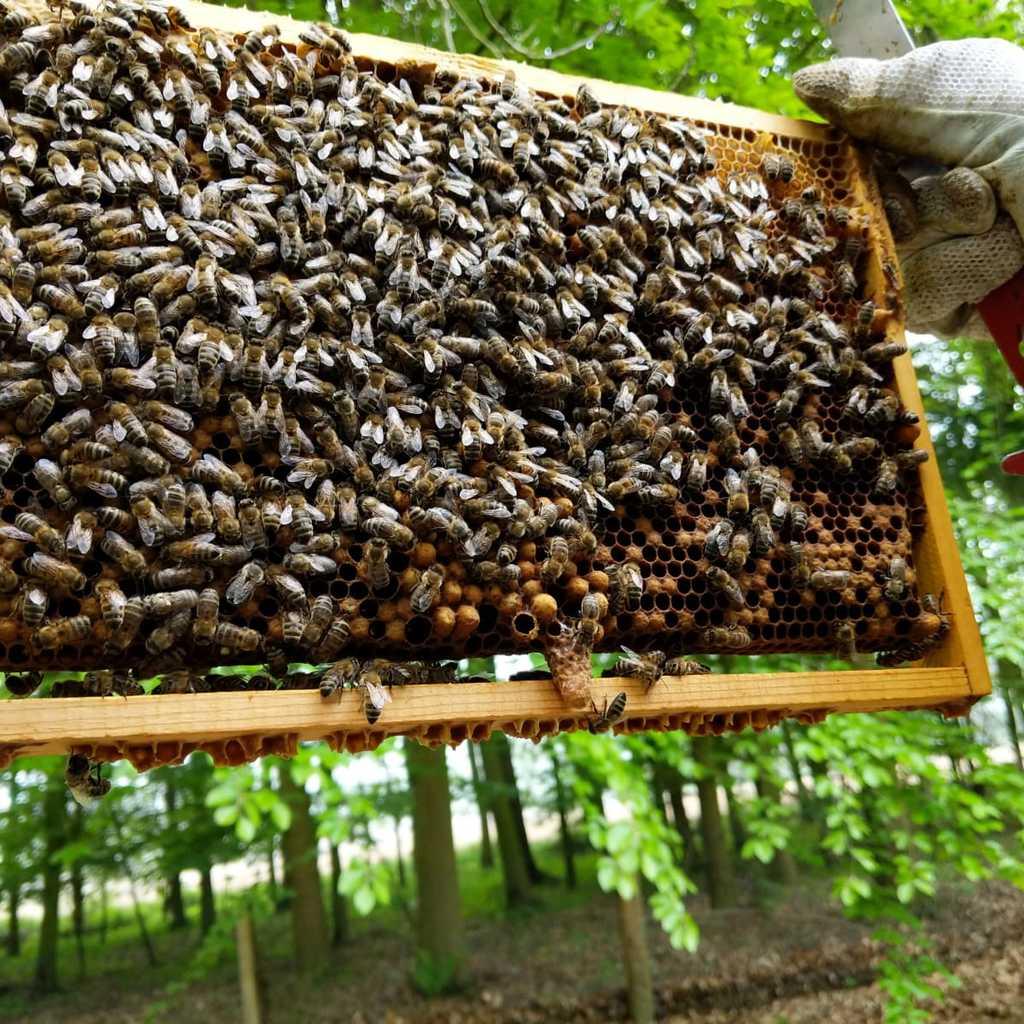 Bienenvolk ohne Beute, Carnica