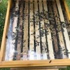 Bienenvolk auf Zander von zertifizierter Bioimkerei