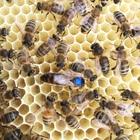 Königin der Dunklen Biene (BIO)
