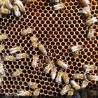 Bienenvolk mit königin aus 2019