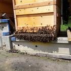 Sofort verfügbar!!!! Aktion nur KW 29 Almenland  Kunstschwarm Carnica 1.5kg mit sehr GUTER ABSTAMMUNG