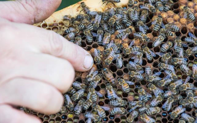 Biete leistungsstarke begattete Buckfast Königinnen an. (Diesjährig)