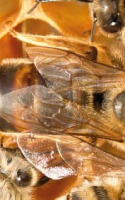 Bienenköniginnen Rasse Carnica