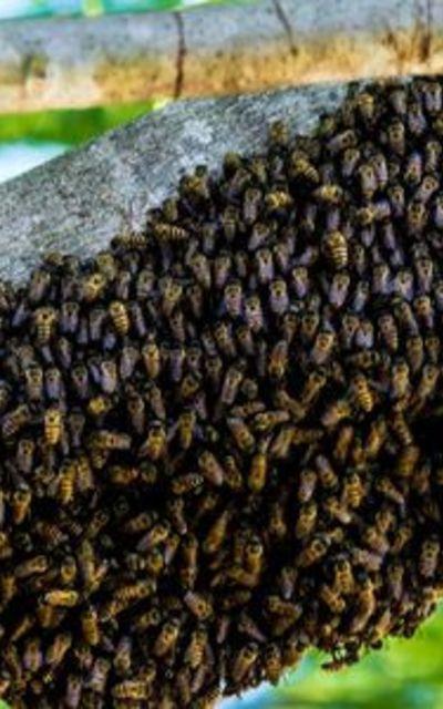 Carnica Bienenschwarm mitKönigin
