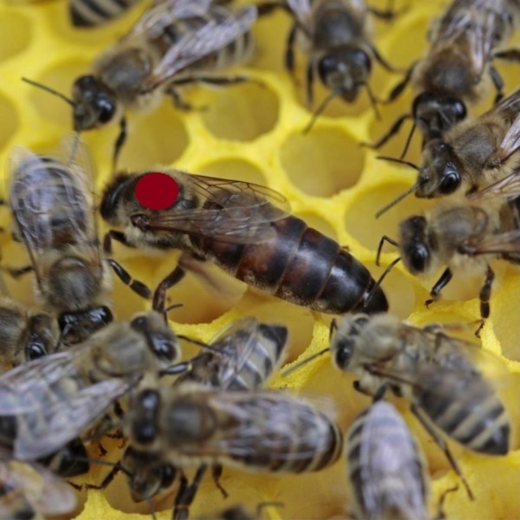 EARLY BEE - Tiroler Carnica Bienen Königinnen von 2019 gezeichnet