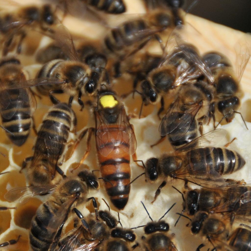 Carnica  Sklenar   Bienenkönigin