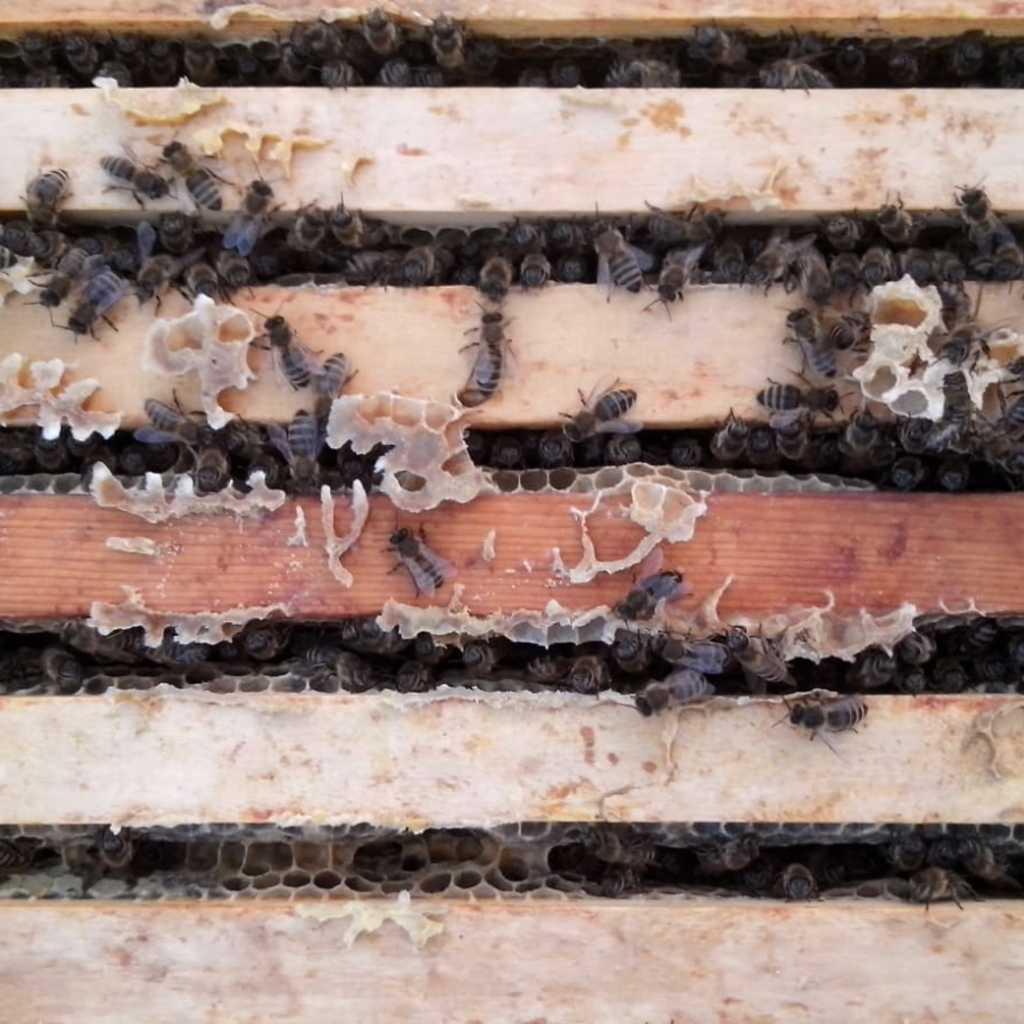 Carnca  Bienenvölker