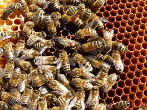 Bienenkoenigin mit hofstaat