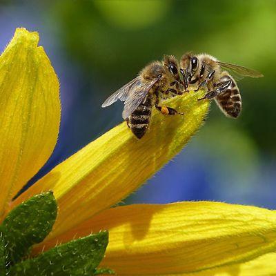 Honigbiene 2