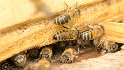 Bienenstock5