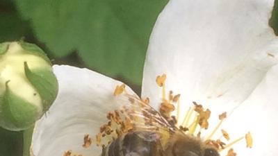 Biene auf bl%c3%bcte