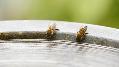 Bienenund rosen %289 von 51%29